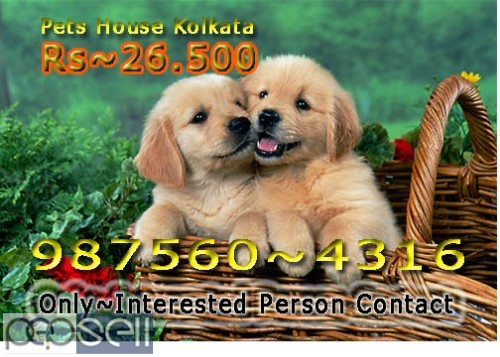 Show Quality GOLDEN RETRIEVER Pets Available  At ~ PETS HOUSE KOLKATA 0