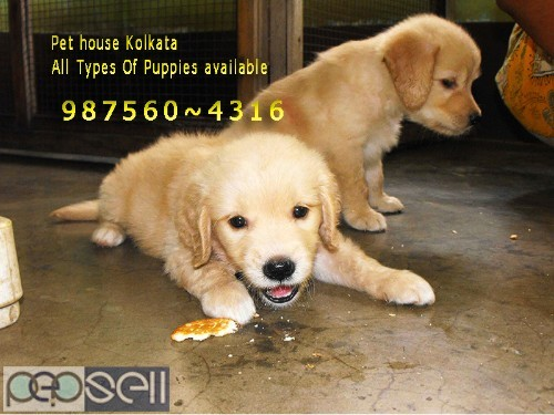 Show Quality GOLDEN RETRIEVER Pets Available  At ~ PETS HOUSE KOLKATA 1
