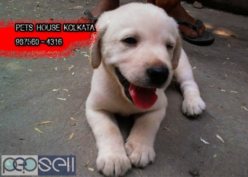 Show Quality GOLDEN RETRIEVER Pets Available  At ~ PETS HOUSE KOLKATA 4
