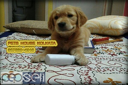 Show Quality GOLDEN RETRIEVER Pets Available  At ~ PETS HOUSE KOLKATA 5