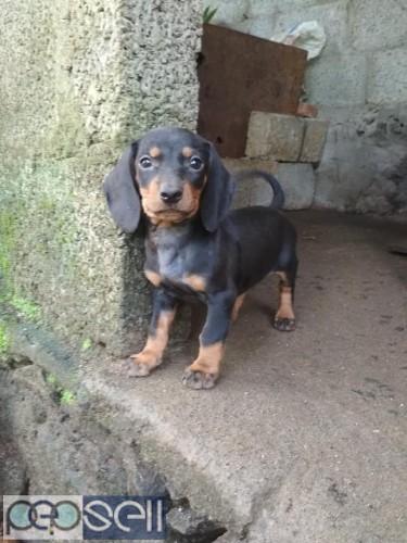 Dash dog puppys for sale 0