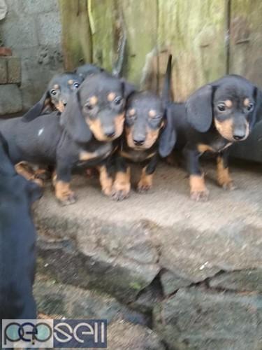 Dash dog puppys for sale 3