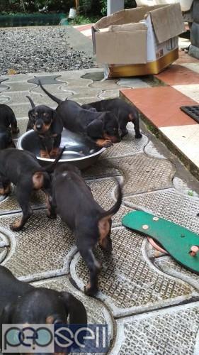 Dash dog puppys for sale 4