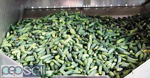 Gherkins Exporters | Gherkins in Acid, Vinegar, Brine 1