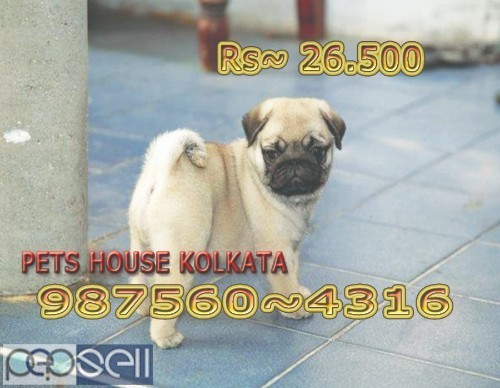 Show Pedigree Vodafone PUG Dogs  sale At NEW TOWN kolkata 0