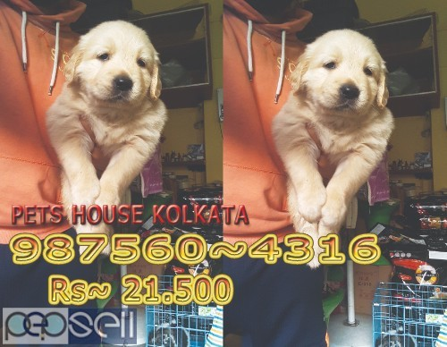 Show Pedigree Vodafone PUG Dogs  sale At NEW TOWN kolkata 4
