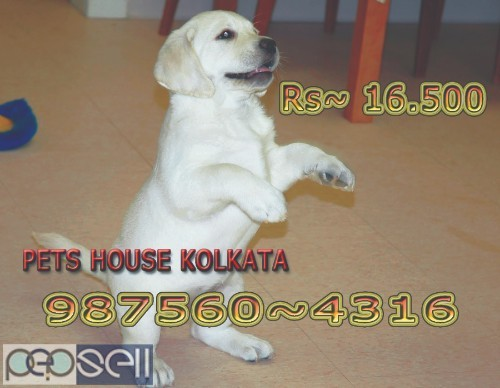 Show Pedigree Vodafone PUG Dogs  sale At NEW TOWN kolkata 5