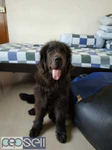 Newfoundland male 3months old puppy for sale