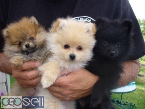 Toy Pom Puppies Available Here Trust Kennel 0