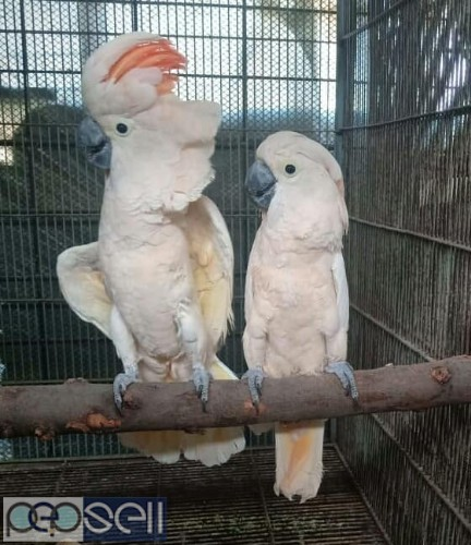 we have healthy Cockatoo chicks and breeder pairs for sale whatsapp us 0