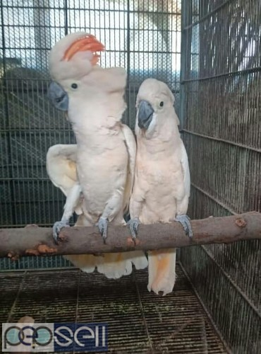 we have healthy Cockatoo chicks and breeder pairs for sale whatsapp us 1