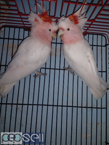 we have healthy Cockatoo chicks and breeder pairs for sale whatsapp us 3