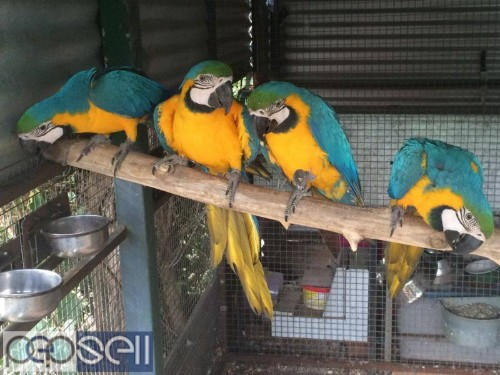 hand tamed macaw Parrots for sale Blue and gold Macaws, Scarlet macaws, hyacinth macaws ,green winged macaws and eggs . 0