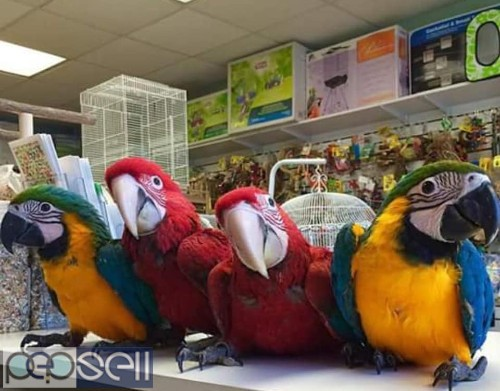 hand tamed macaw Parrots for sale Blue and gold Macaws, Scarlet macaws, hyacinth macaws ,green winged macaws and eggs . 1