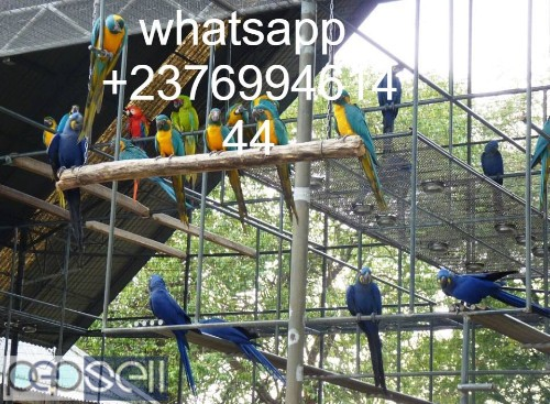 hand tamed macaw Parrots for sale Blue and gold Macaws, Scarlet macaws, hyacinth macaws ,green winged macaws and eggs . 3