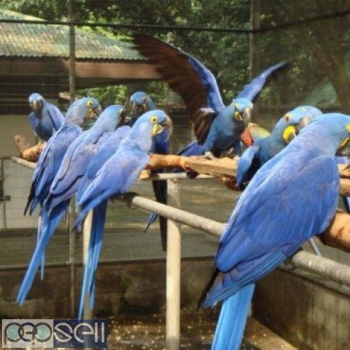 hand tamed macaw Parrots for sale Blue and gold Macaws, Scarlet macaws, hyacinth macaws ,green winged macaws and eggs . 4