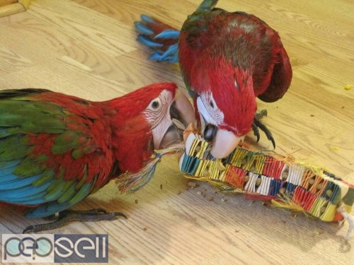 hand tamed macaw Parrots for sale Blue and gold Macaws, Scarlet macaws, hyacinth macaws ,green winged macaws and eggs . 5