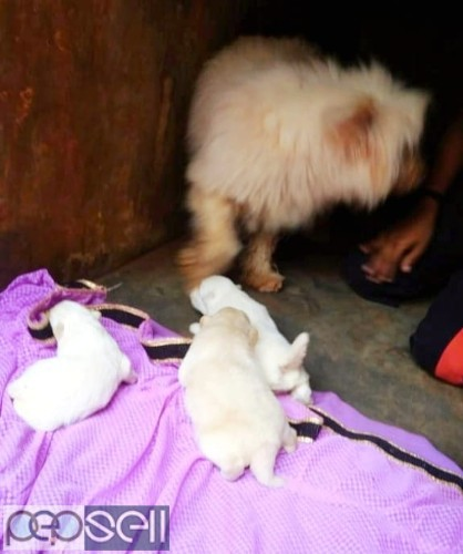 7 Terrier Dog Puppies for sale in Trivandrum 0