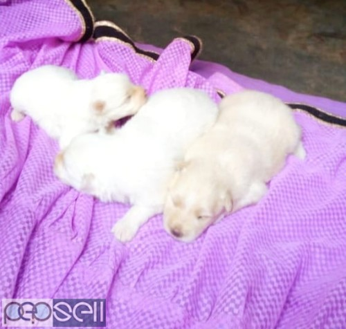 7 Terrier Dog Puppies for sale in Trivandrum 1