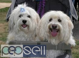 Trust Kennel Delhi Havanese puppies for sale 0