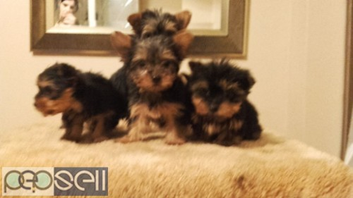 TRUST KENNEL YORKSHIRE PUPS FOR SELL 0