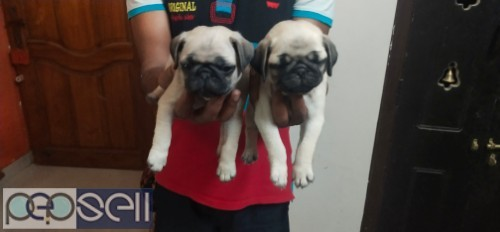 Pug puppies for sale 1