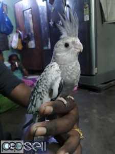 Cocktail hand feeding chicks Rs. 2000/- srikanth