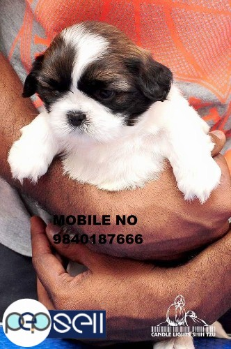 Shih Tzu puppies for sale in Chennai  0