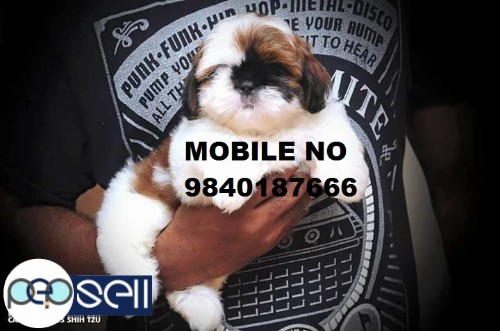 Shih Tzu puppies for sale in Chennai  1