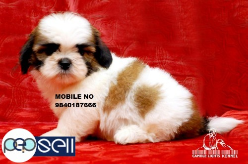 Shih Tzu puppies for sale in Chennai  2
