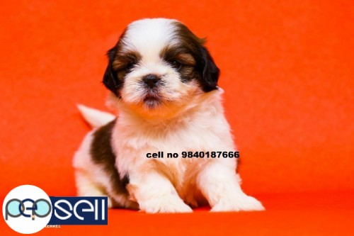 Shih Tzu puppies for sale in Chennai  3