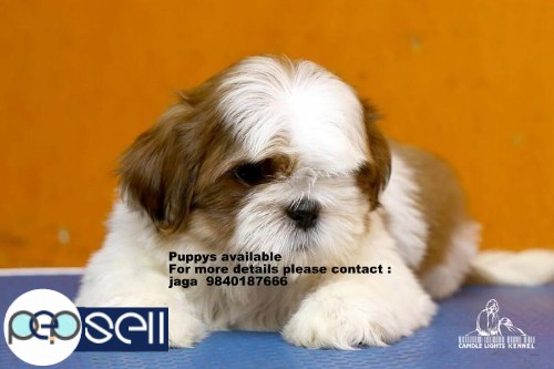Shih Tzu puppies for sale in Chennai  4