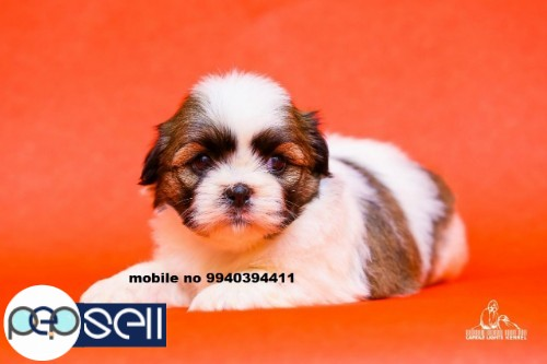 Shih Tzu puppies for sale in Chennai  5