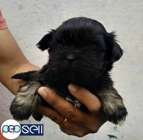 LHASA APSO MALE PUPPY 40 DAYS 0