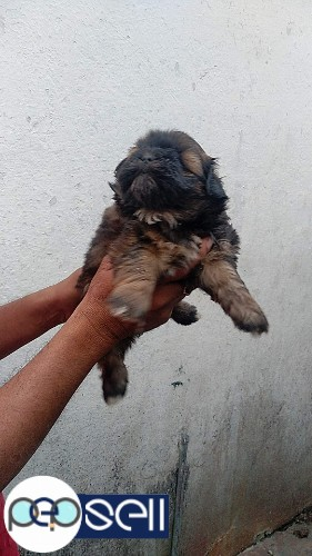 LHASA APSO MALE PUPPY 40 DAYS 1