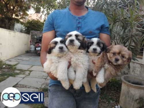 LHASA APSO MALE PUPPY 40 DAYS 2