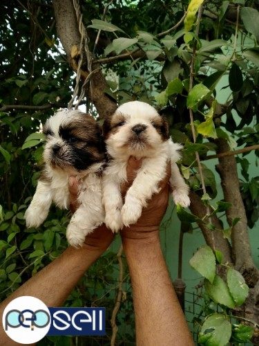 LHASA APSO MALE PUPPY 40 DAYS 5