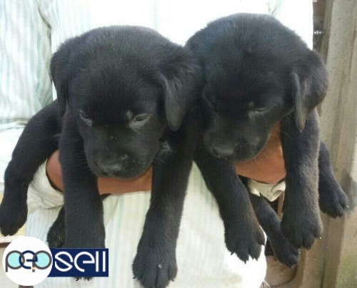 Dogs Puppies And Persian Kitten Indore Free Classifieds