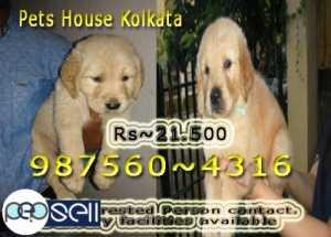 Labrador puppy for sale at Coimbatore