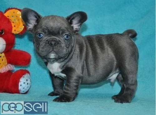 100% Pure Breed Blue French Bulldog puppies Text Us At (503) 389-3196