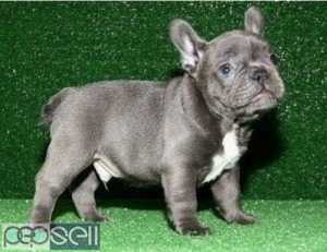 Pure Breed Genuine Blue  French Bulldog puppies Text Us At (503) 389-3196