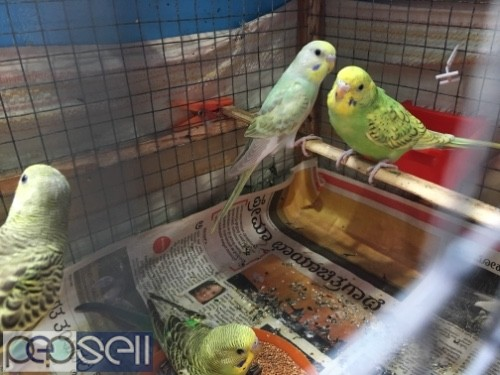 Budgies home bred  2
