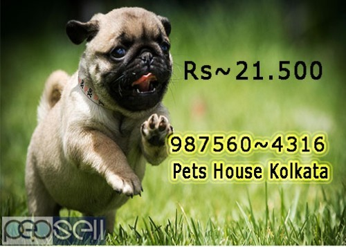 Show Quality Vodafone Pug Puppies Dogs Sale At DURGAPUR 0