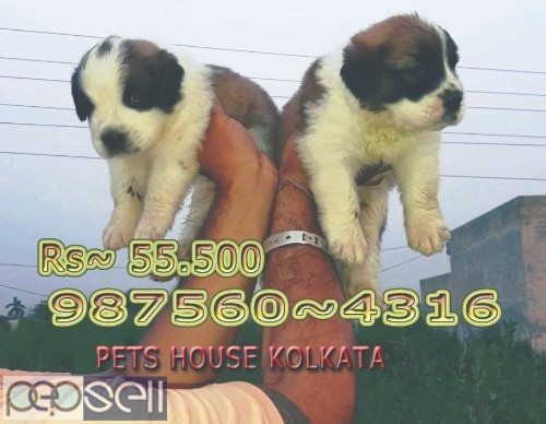 Show Quality Vodafone Pug Puppies Dogs Sale At DURGAPUR 2