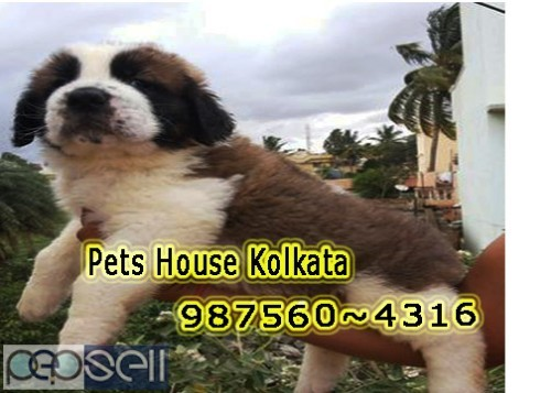 Show Quality Vodafone Pug Puppies Dogs Sale At DURGAPUR 3