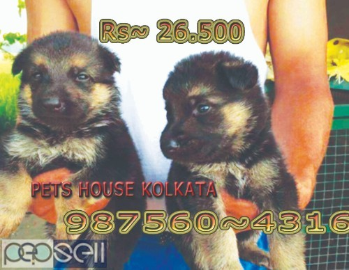Show Quality Vodafone Pug Puppies Dogs Sale At DURGAPUR 4