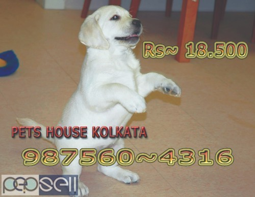 Show Quality Vodafone Pug Puppies Dogs Sale At DURGAPUR 5