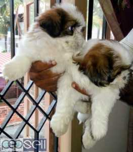 Shih Tzu Male puppy  Certified parents champion lineage