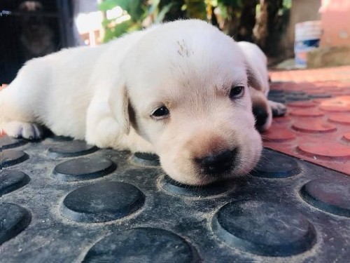 Labrador White Puppies For Sale Palakkad Free Classifieds