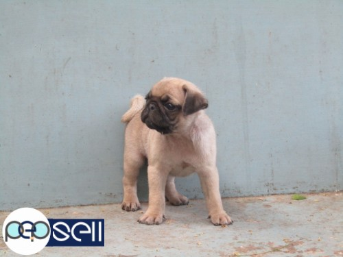 PUG PUPPY AVAILABLE AT TRIVANDRUM 1
